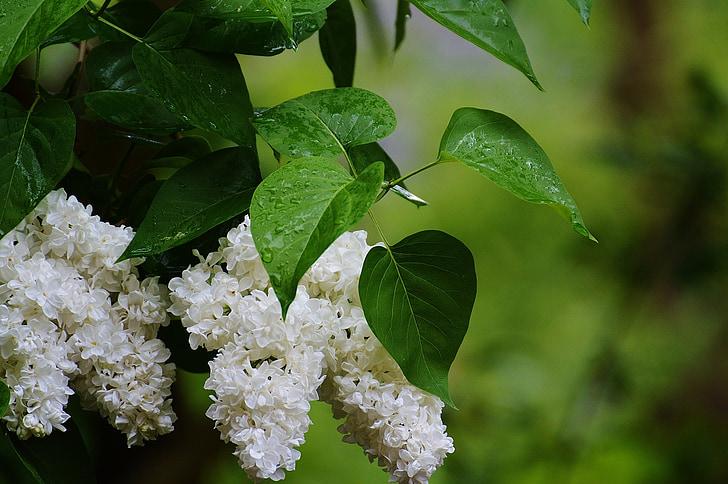 liliowy, roślina, Bush, biały, białego bzu, Natura