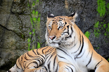 tiger, animal, wildlife, zoo