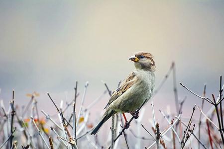 ptica, Vrabac, biljni i životinjski svijet, makronaredbe, krupne, grana, grančica