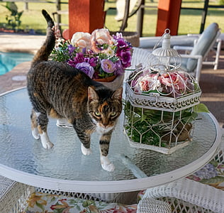 cat, feline, calico, cute, animal, domestic, kitty