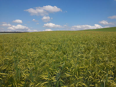 barley, cereals, arable, field, agriculture, spike, grain