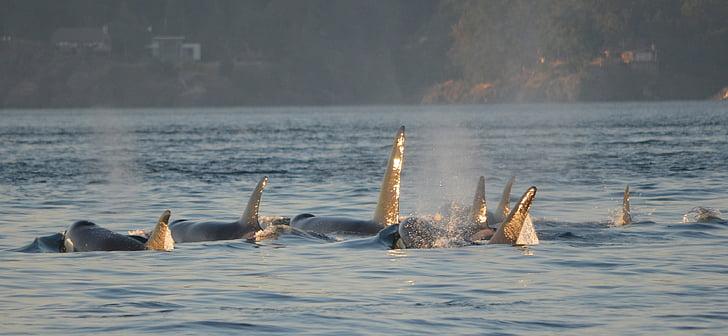 Orke, kitovi ubojice, svjetlucaju, viktorija, Kanada, životinja, more