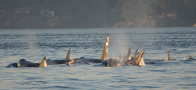 orcas, Вбивця китів, мерехтіння, Вікторія, Канада, тварини, море