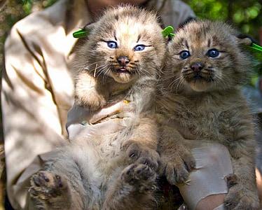 子猫, ネコ科の動物, lynx, カナダ, 猫, ペット, キティ
