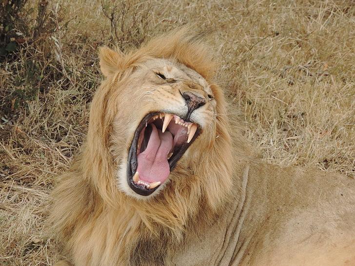 lion, africa, wild animal, wildcat, roar