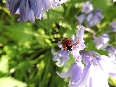 Nhiếp ảnh, Lady, lỗi, Ladybird, Hoa, Thiên nhiên, bọ rùa