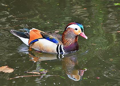 mandarin ducks, water, colorful, duck, waterfowl, beautiful