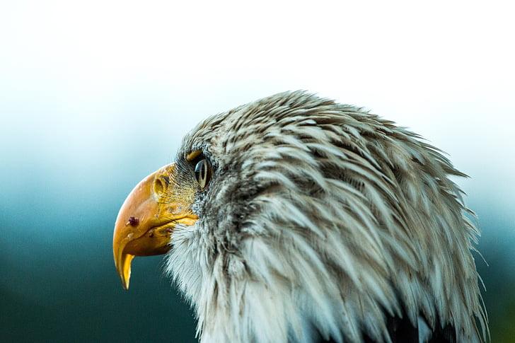 kalju kotka, Haliaeetusleucocephalus, Adler, Raptor, petolintu, lintu, sulka
