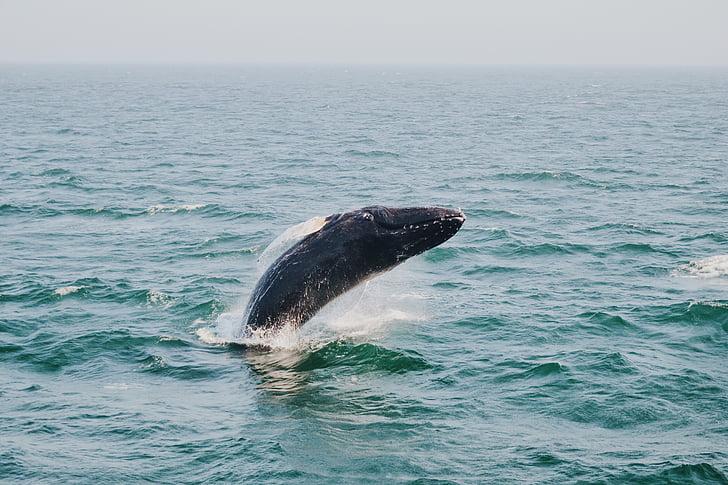 Горбатий, кит, стрибки, тіло, води, море, Горбатий кит