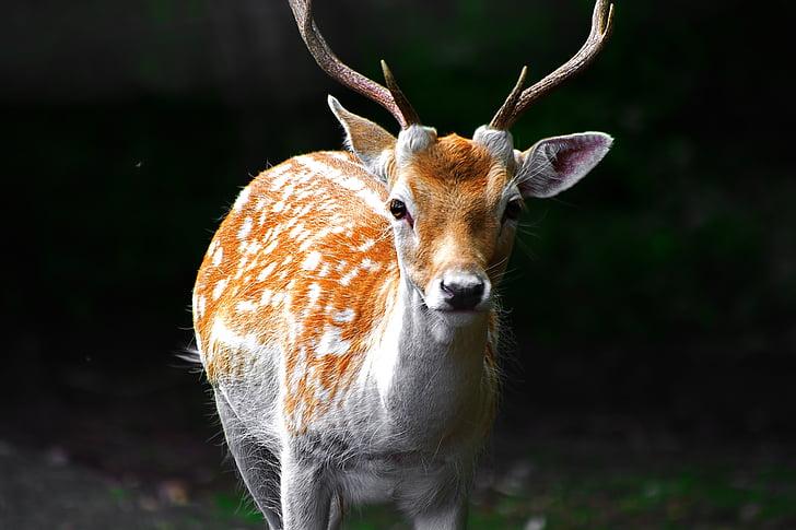 Cérvol, boscos, bosc, salvatge, animal, vida silvestre, natura