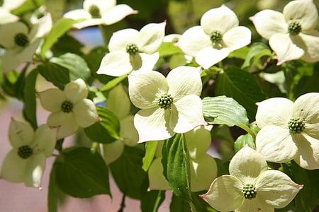 Corn de fulles, natura, flors, flor blanca, flors blanques, primavera, plantes