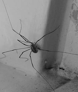 spider, lockespindel, arachnids, window, long legs, ben, slim legs