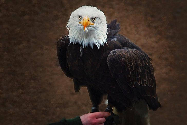 valkoinen pyrstö eagle, haukkametsästys, Raptor, kalju kotka, eläinten, Sulje, Bill