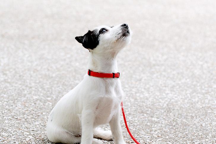 子犬, 若い, かわいい黒の白い犬, 犬, ペット, 動物, かわいい