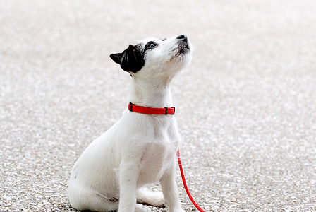 pup, tineri, negru alb câini drăguţ, câine, animale de companie, animale, drăguţ