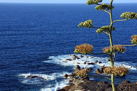 atzavara, flor d'atzavara, oceà, Atlàntic, Tenerife, la Costa, roques