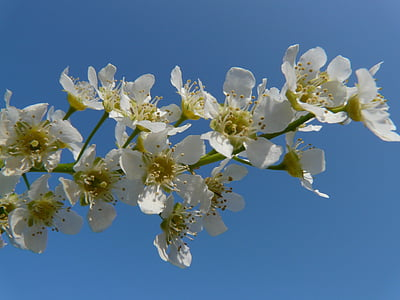 common bird cherry, black cherry, tree, flowers, white, spring, bloom