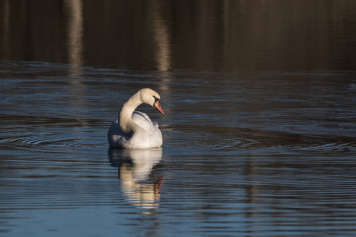 лебед, животните, птица, вода птица, лебеди, природата, води