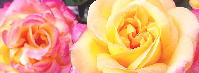 ruža, žuta, cvijet, cvatu, cvijet, biljka, ruže cvatu