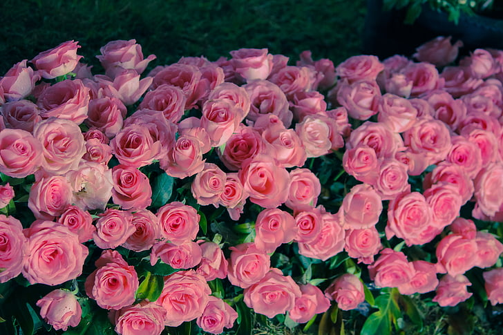 flors, flors bonics, boniques flors, Roses, Rosa, llit de flors