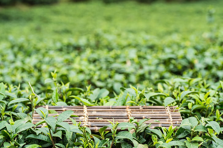 primavera, alpino, giardino del tè