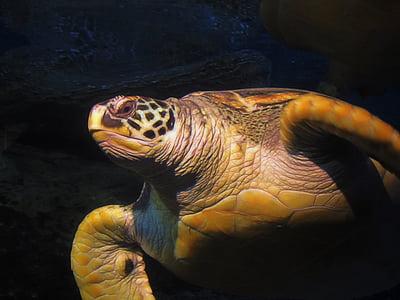 teknős, víz, tenger, óceán, állat, természet, víz alatti