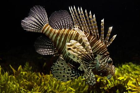 lionfish, aquarium, sealife, tropical, underwater, ecosystem, fish