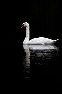 swan, sadness, melancholy, calm, rest, reflection, lake
