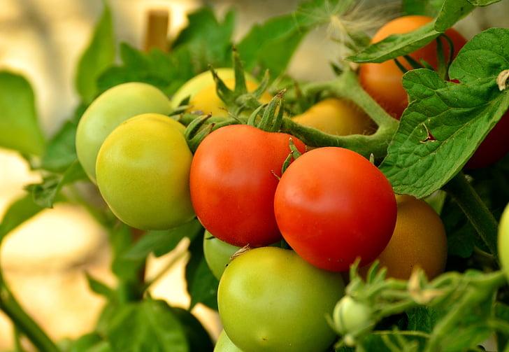 tomāti, Nogatavojies, nenobriedušu, sarkana, nachtschattengewächs, dārzeņi, zaļa