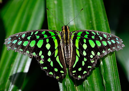 perhonen, laikullinen, siivet, Ohje, värikäs, makro, Lähikuva