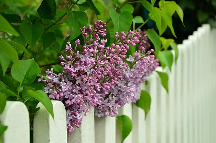 liliowy, płot, biały, liliowy drzewa, fioletowy, kwiaty, wiosna