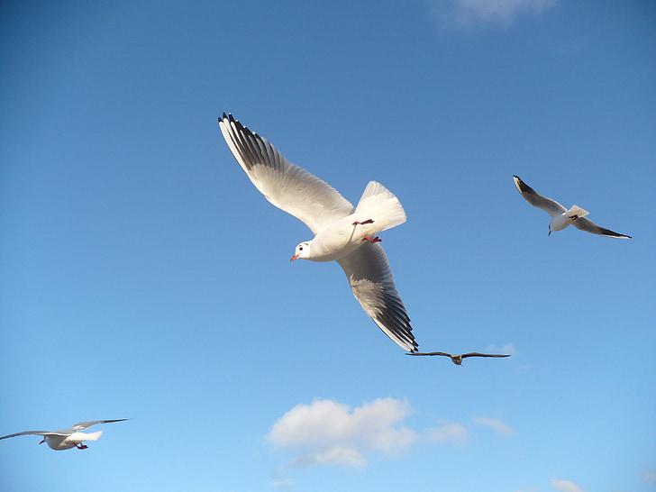 чайки, птици, плаващи Чайка, Птичият полет, небе