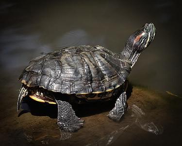 черепаха, turtoise, Рептилия, воды, отражение, Фауна, Природа