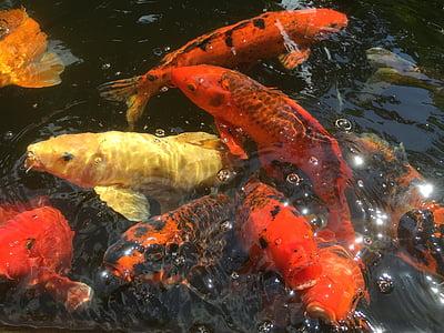 peix, Koi, Estany, carpa, colors