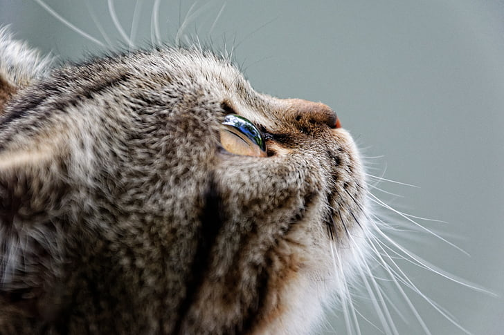 cat, british shorthair, breed cat, luna, mackerel, dreams, pet