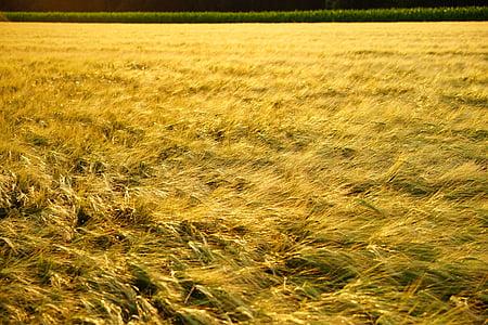 field, spike, grain, evening light, golden, gold, cereals
