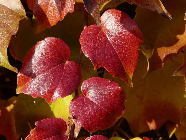 fulles de vinya, soci vi, per pintar, vermell, tardor, fulles, fullatge de tardor