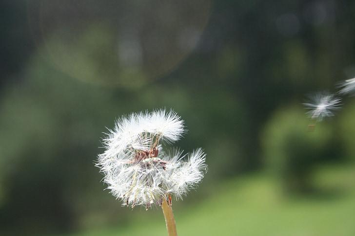 dent de Lleó, primavera, flor, natura, un nou començament, flor de camp, macro