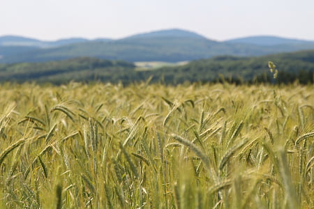 nisu, nisu väli, nisu spike, Spike, teravilja, tera, põllumajandus