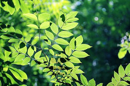 les fulles, arbre, verd, boscos, fulla, fulla verda, el paisatge