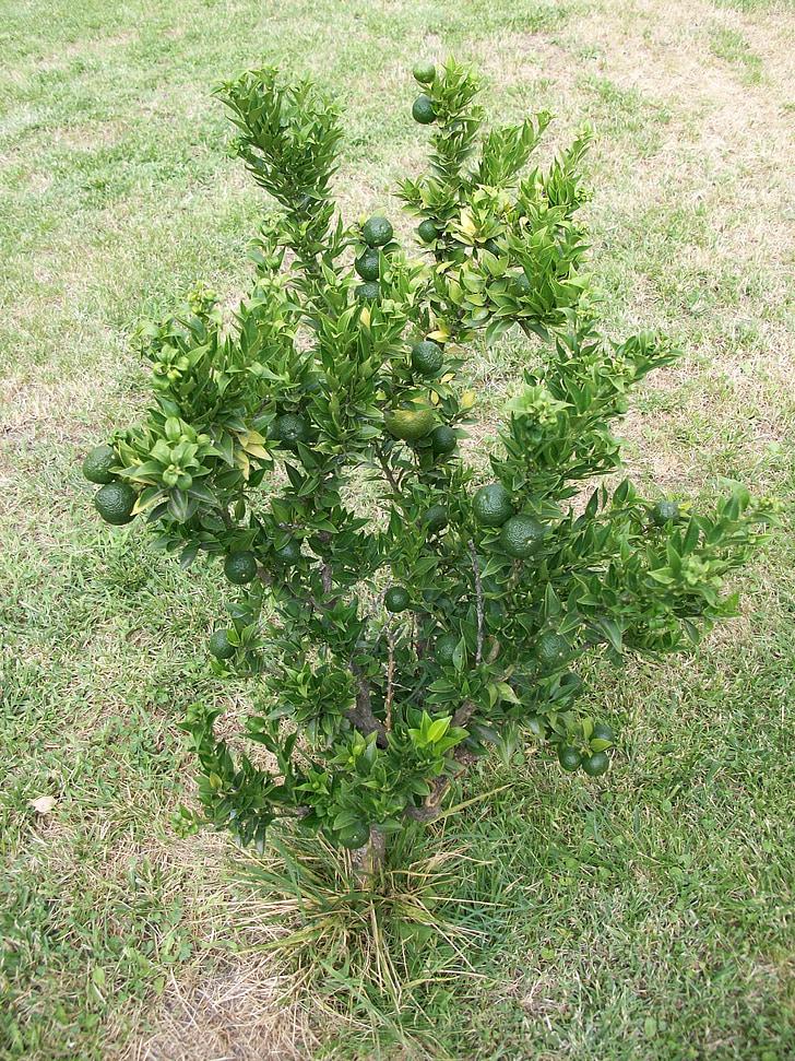Bush, Lime, Citrus, Citrus träd, limefrukttree, naturen, Anläggningen