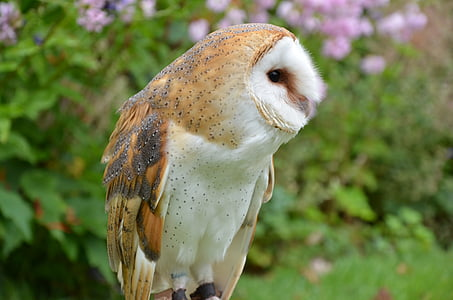 barn owl, owl, bird, falconry, bird of Prey, animal, nature
