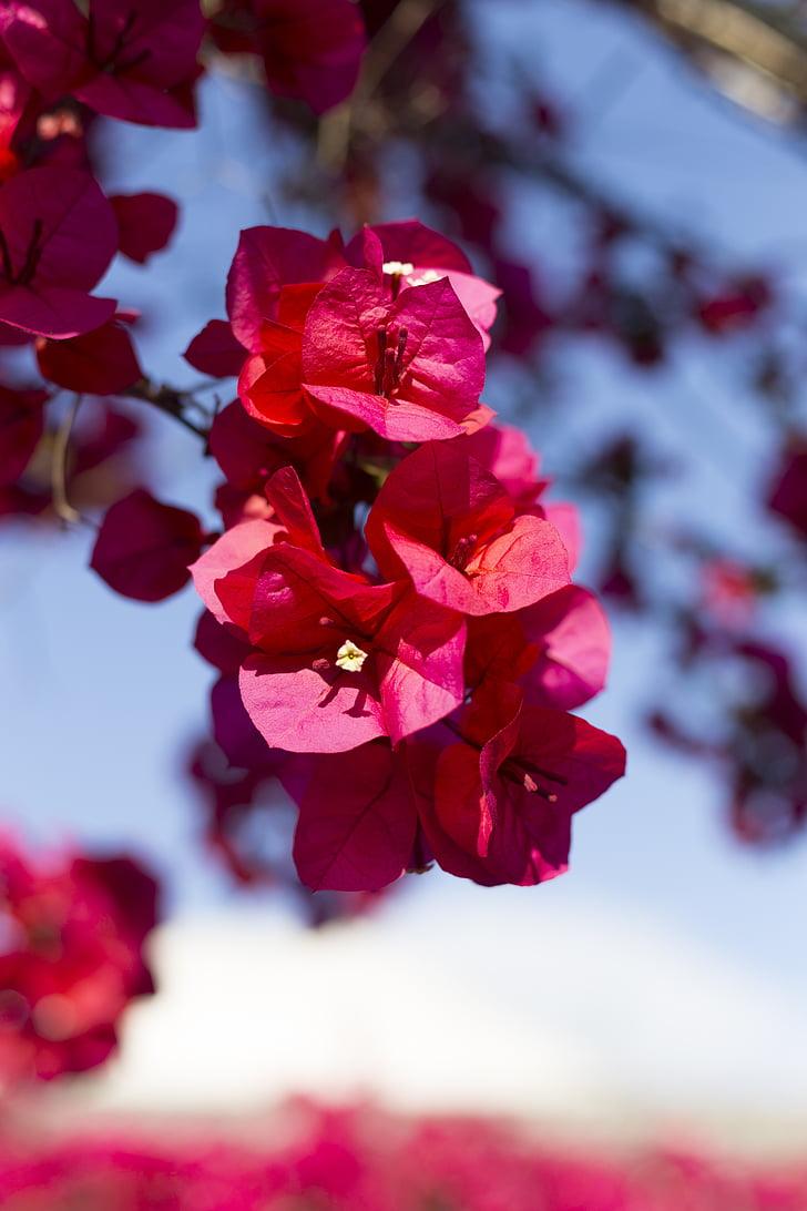Бугенвиль, Патио-де-Кордоба, цветок