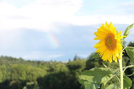 päike, lill, suvel, õis, Bloom, Suvine lill, kollane