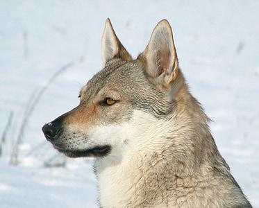 czechoslovakian wolfdog, female, wolf, dog, crossbreed, portrait, head