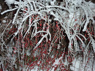 talvi, Frost, marjat, kylmä, jäädytetty, jäinen, Kuura