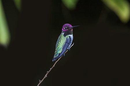 nông, tập trung, Nhiếp ảnh, màu tím, màu xanh lá cây, con chim, tối