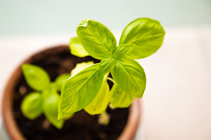 bazalka, čerstvé, Zelená, rastú, pestovanie, rast, zdravé