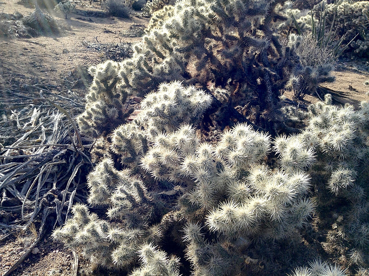Cholla, Joshua tree, Wüste, Anlage, Südwesten, Wildnis