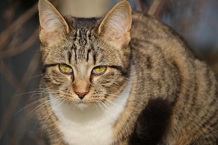 cat, kitten, mackerel, young cat, domestic cat